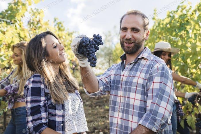 Gruppe von Menschen, die Trauben in einem Weinberg ernten
