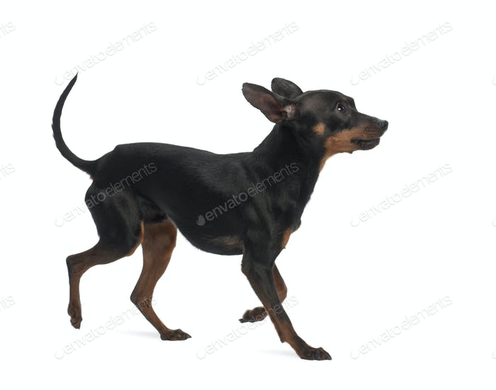 Miniature Pinscher, 10 months old, against white background
