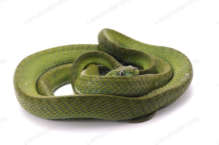 Green Cat Snake isolated on white background