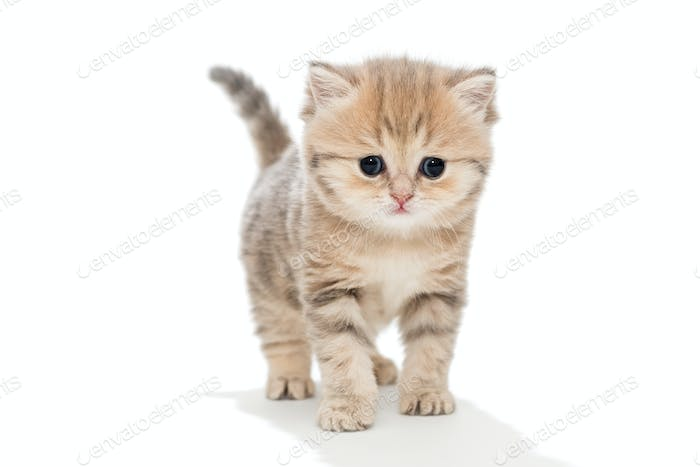 Funny kitten  breed British marble