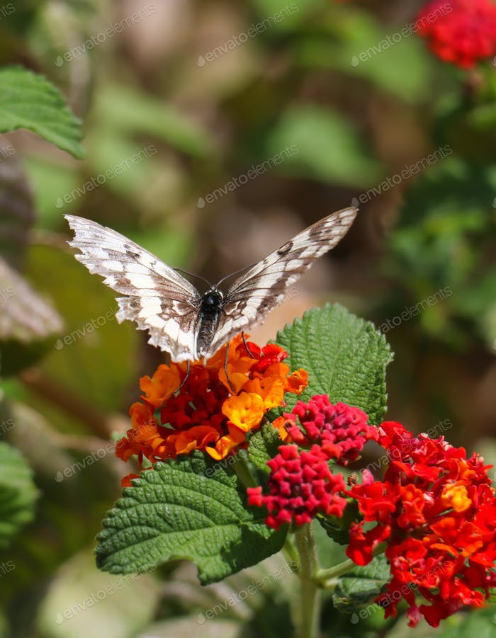Butterfly melanargia galathea with white and brown color wings pollinating red and yellow flower.