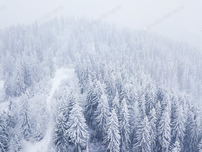 Flight over snowstorm in a snowy mountain coniferous forest, unc