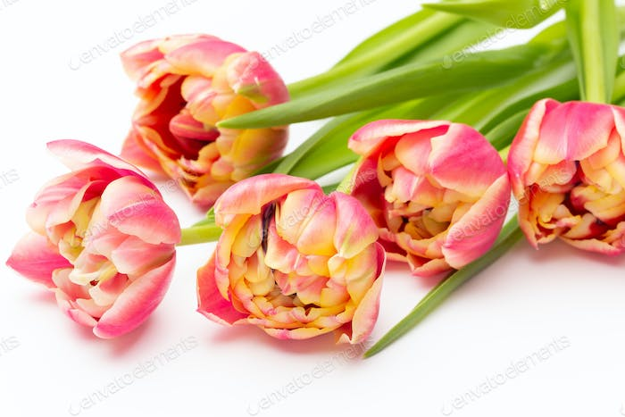 Pink color tulips on the white background. Retro vintage style.