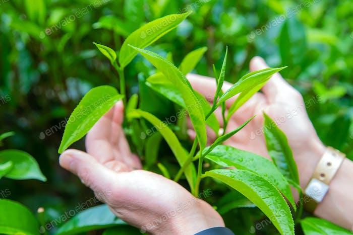 Tea leaves in hands.