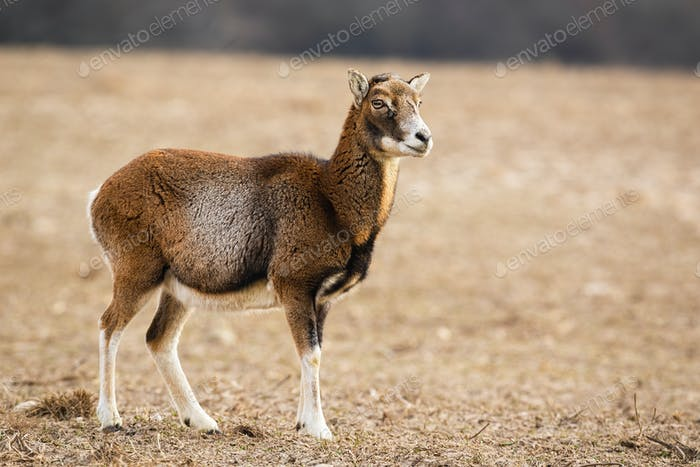 Female mouflon standing alerted on a meadow in winter looking aside