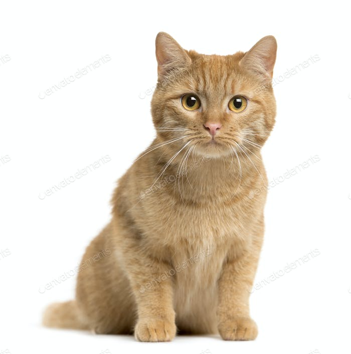 Mixed-breed Cat sitting and looking at the camera, Cat, pet, studio photography, cut out