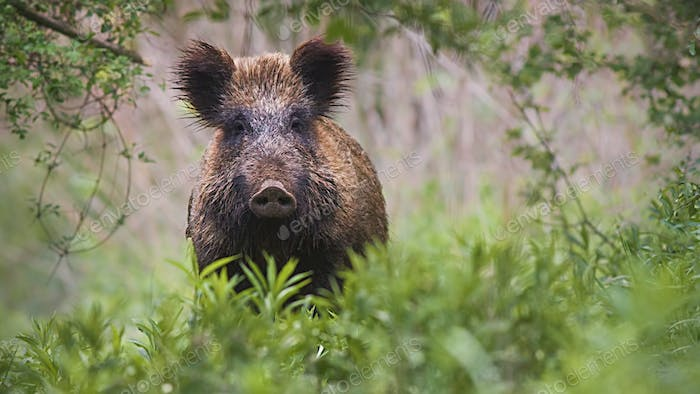 wild boar, sus scrofa, standing in tall vegetation in spring forest
