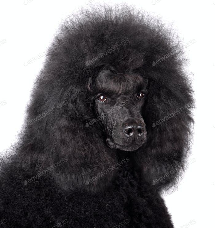 Porträt von schwarzen Pudel