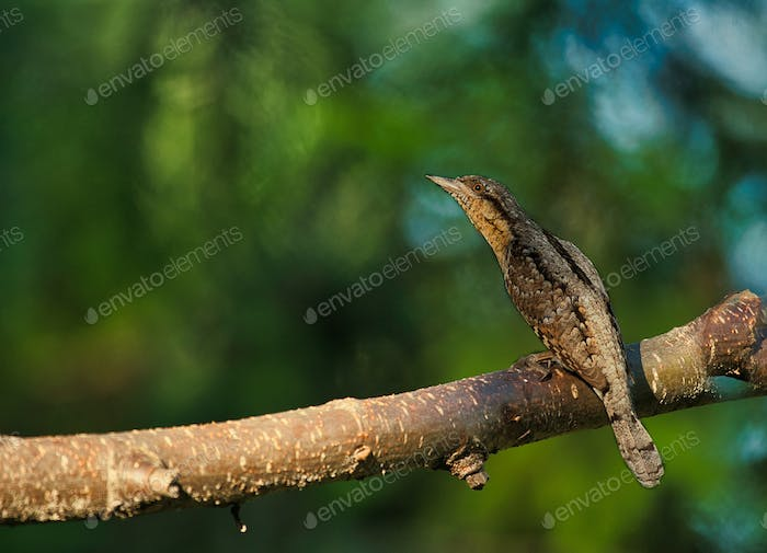 The Eurasian wryneck (Jynx torquilla) is sitting on a tree branch on a sunny morning