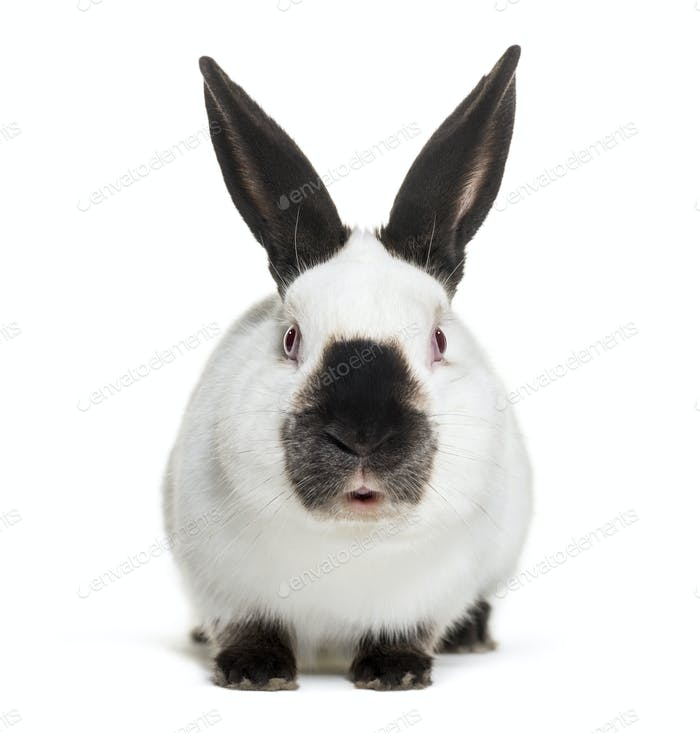 Russian rabbit sitting against white background