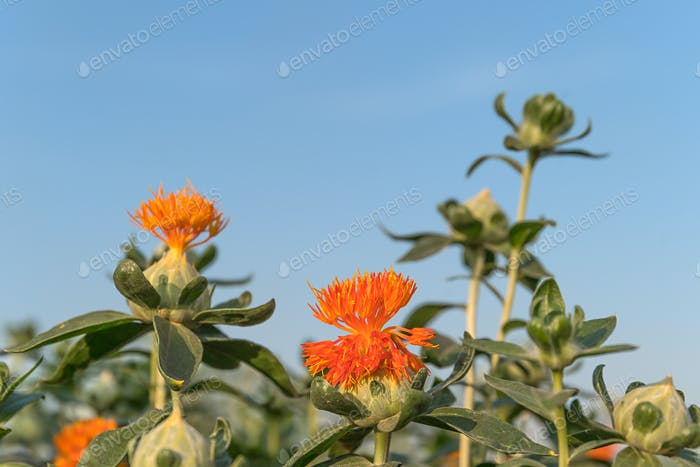 Safflower has begun to bloom-13