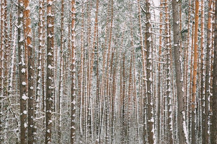 Winter Snowy Coniferous Forest During Snowy Day. Pines Trunks Ba