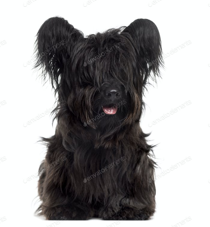 Skye Terrier sticking the tongue out, isolated on white