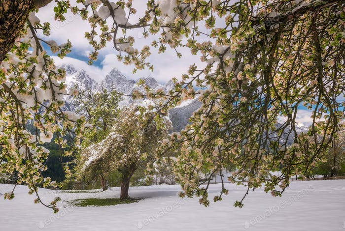 When spring meets winter in the full blossom season