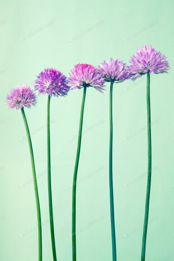 Chives with flowers on light green vintage  background