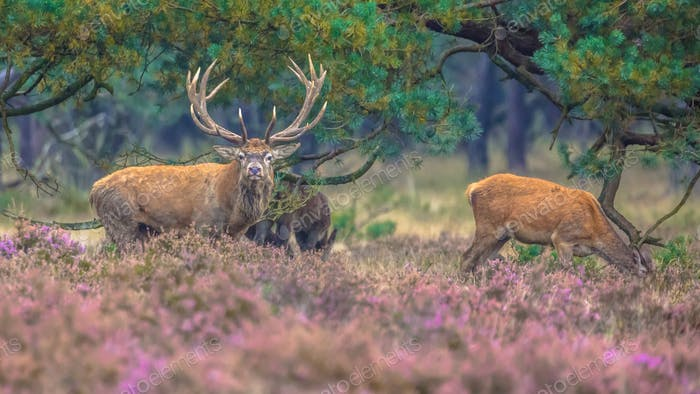 Herd of Red deer in field of heather