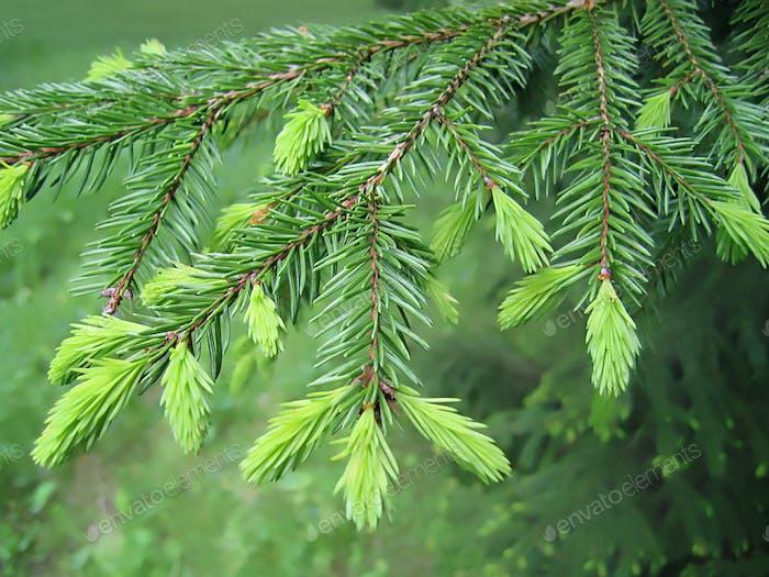 Branch of fur tree