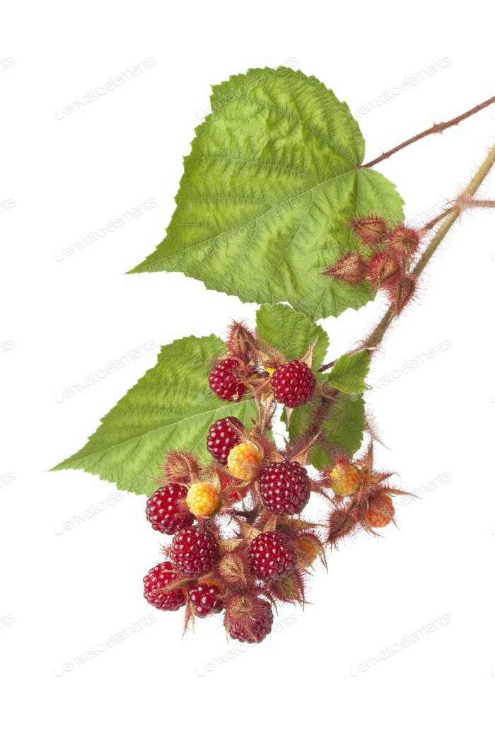 Branch of a Japanese Wineberry