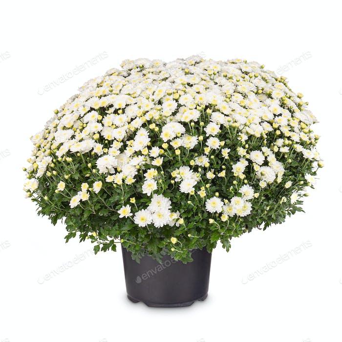 Weiße Chrysanthemen Blume