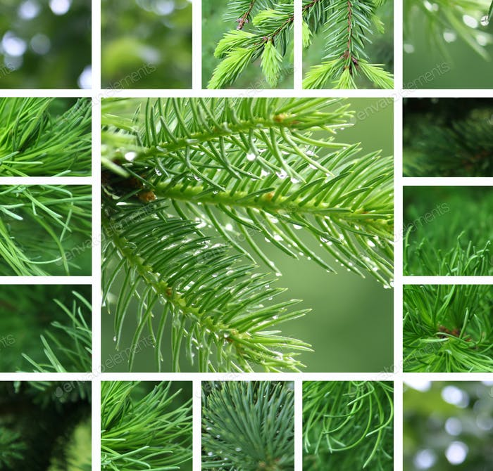 Coniferous tree with rain droplets collage