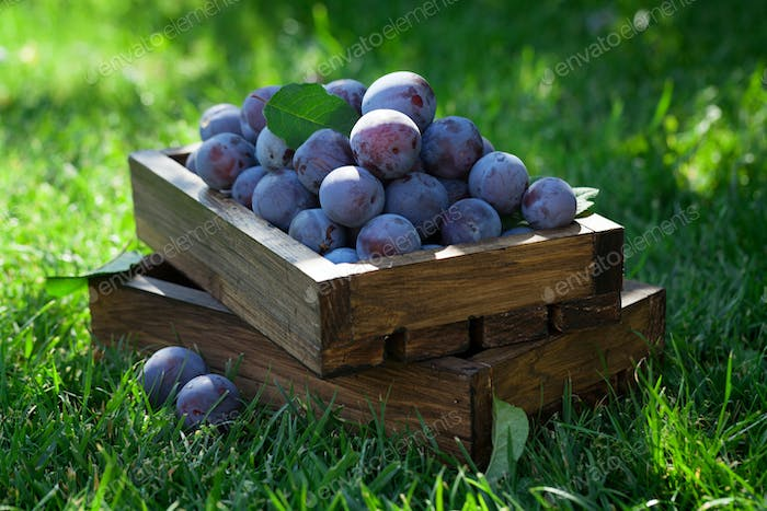Garden plums in wooden box