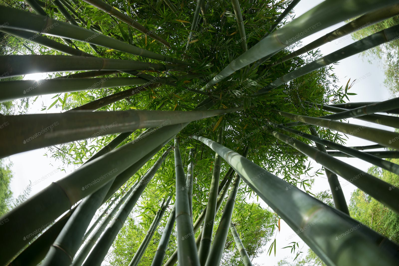 Bamboo Trees Looking Up Photo By Lzf On Envato Elements