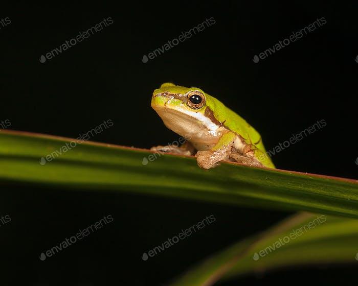 pygmy tree frog
