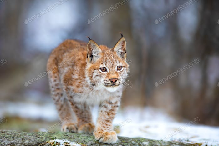 Beautiful eurasian lynx cub play in the forest at early winter