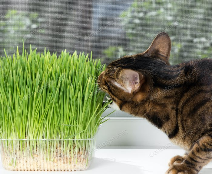 Domestic cat eating green grass