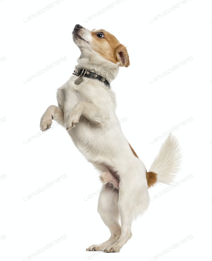 Jack Russell Terrier on hind legs, isolated on white