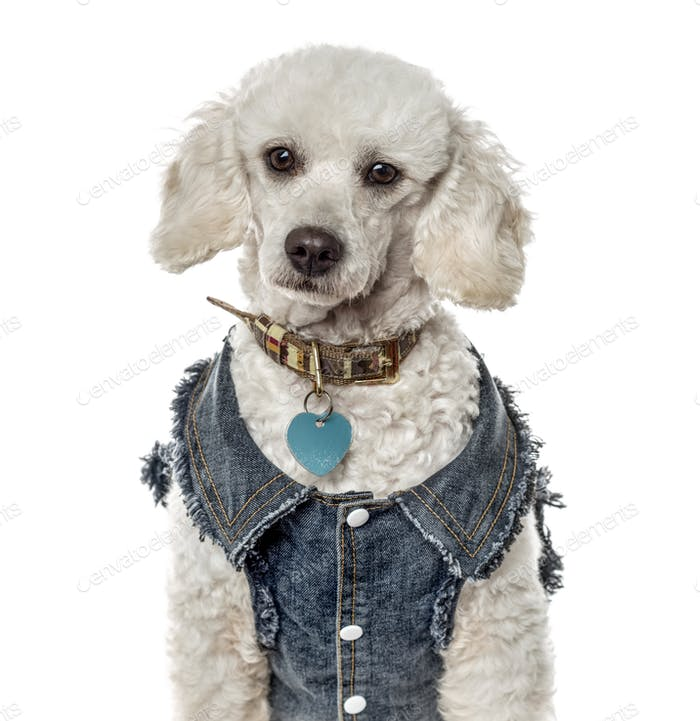 Close-up of a poodle with a jeans jacket, isolated on white