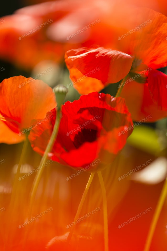 Red poppy flowers in Summer.