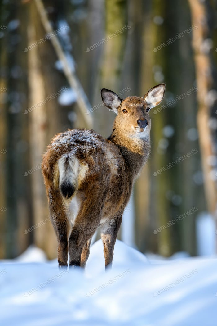 Roe deer in the winter forest. Animal in natural habitat
