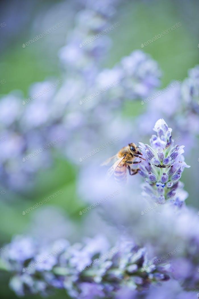Biene bestäubt Lavendel