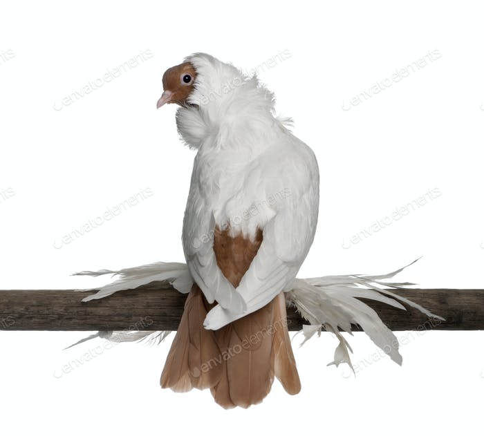 German helmet with feathered feet pigeon perched on wood in front of white background