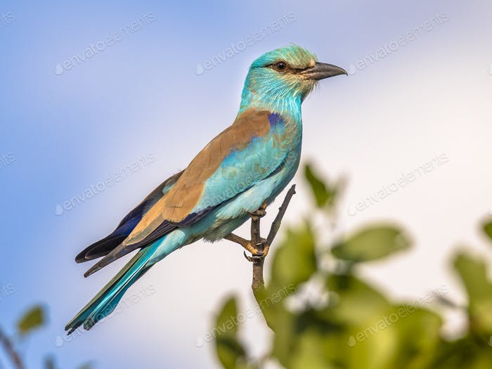 European roller on branch