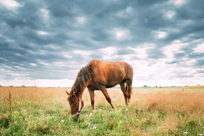 Red Horse Grazing Grass In Summer Meadow.