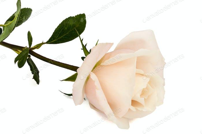 Blume der Rose Nahaufnahme, isoliert auf weißem Hintergrund