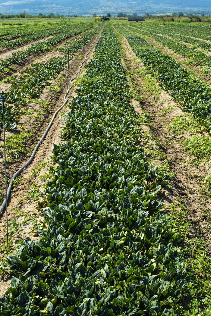 Spinach farm. Organic green vegetables on the field.