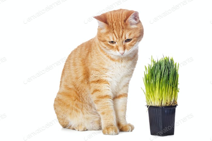 Beautiful red cat and green grass
