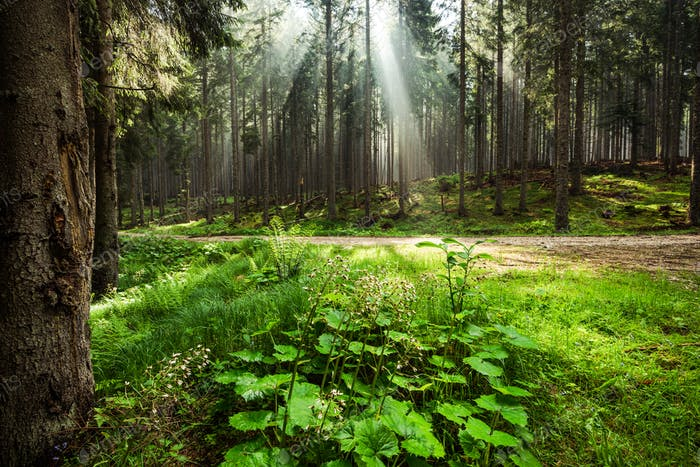 Sun rays cut trough mist in forest or woodland