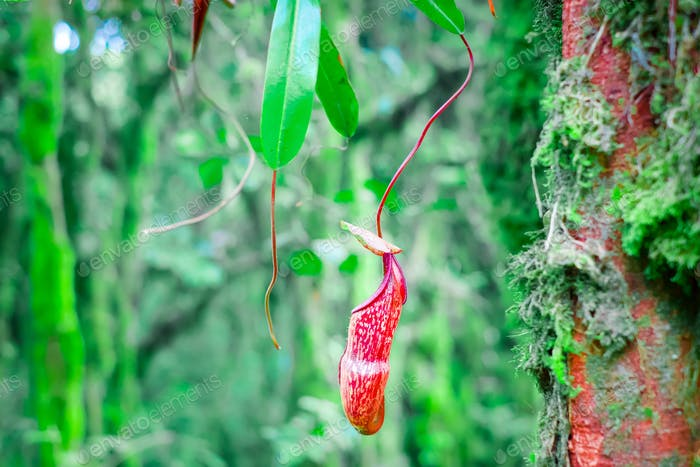 Nepenthes pitcher flower in wild jungles