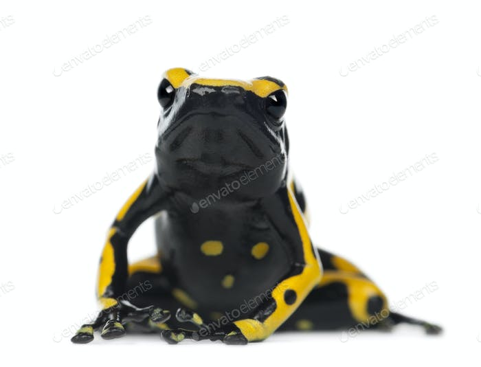 Yellow-Banded Poison Dart Frog, also known as a Yellow-Headed Poison Dart Frog and Bumblebee Poison