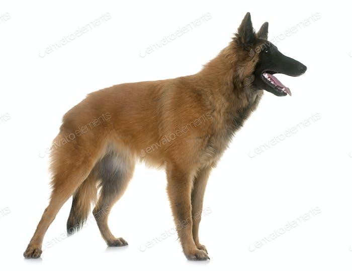 belgian shepherd tervuren