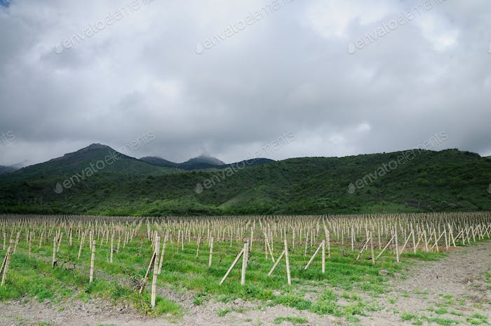 Rows of grapes, vineyards in Crimea