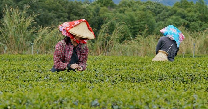 Люди выбирают листья зеленого чая на ферме