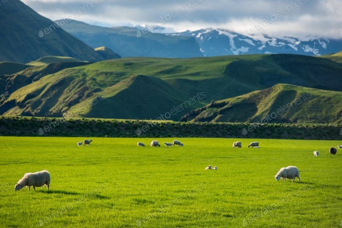 Icelandic landscape with green hills and countryside grazing sheep, in the highlands, Iceland