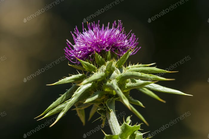 flower of the cardus marianus thistle