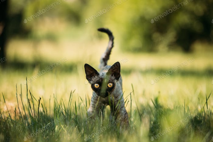 Young Gray Devon Rex Kitten In Green Grass. Short-haired Cat Of