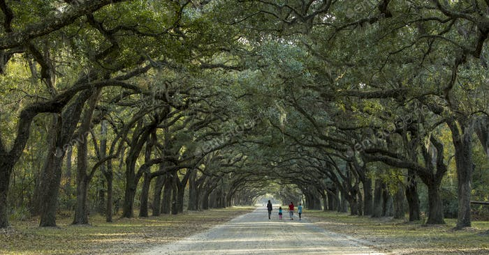 Walking under canopy of live oaks